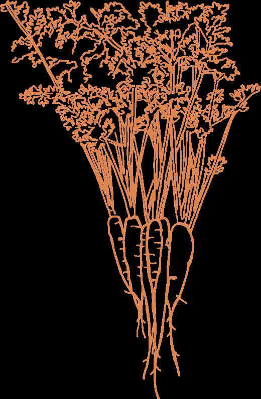 Carrots illustration
