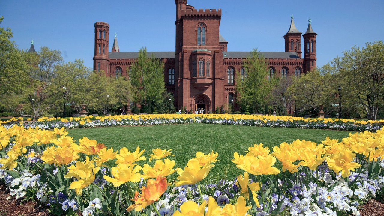Yellow tulips in bloom on the parterre in the Enid A. Haupt Garden