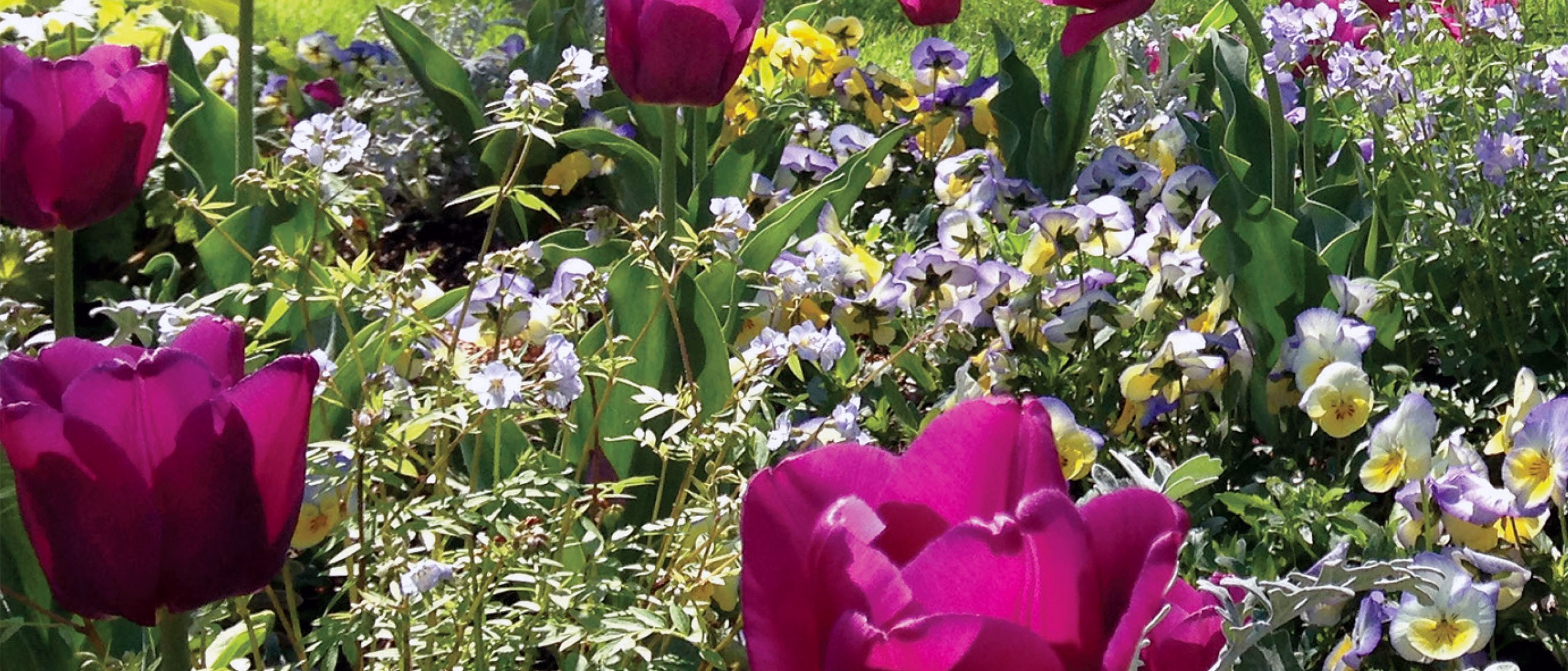 Smithsonian Gardens with tulips and pansies in bloom