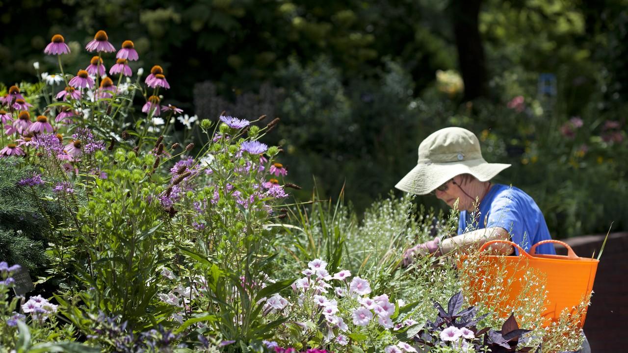 Volunteer weeding in the Ripley Garden