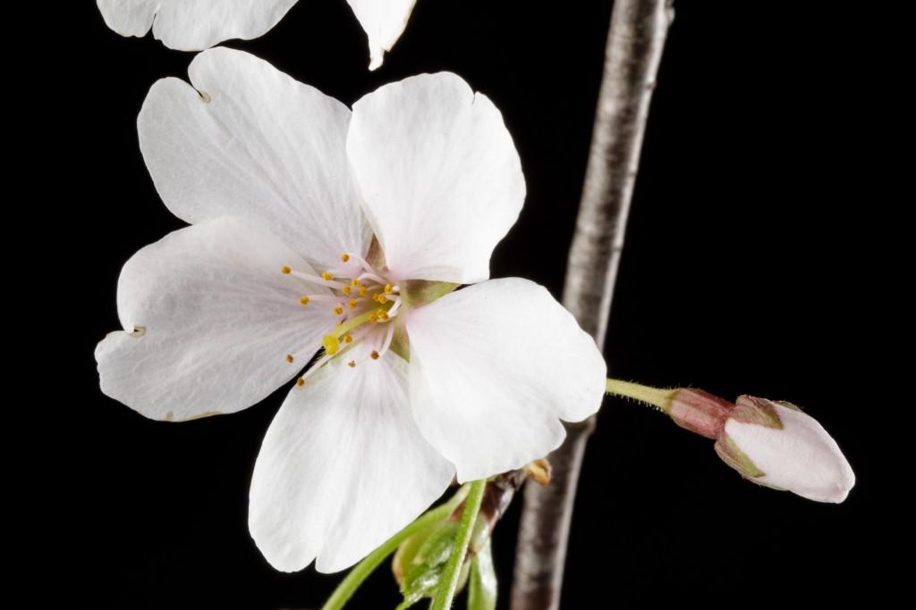 Light pink Prunus flower