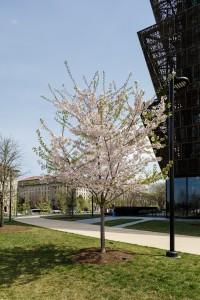 Prunus yedoensis, Yoshino Cherry