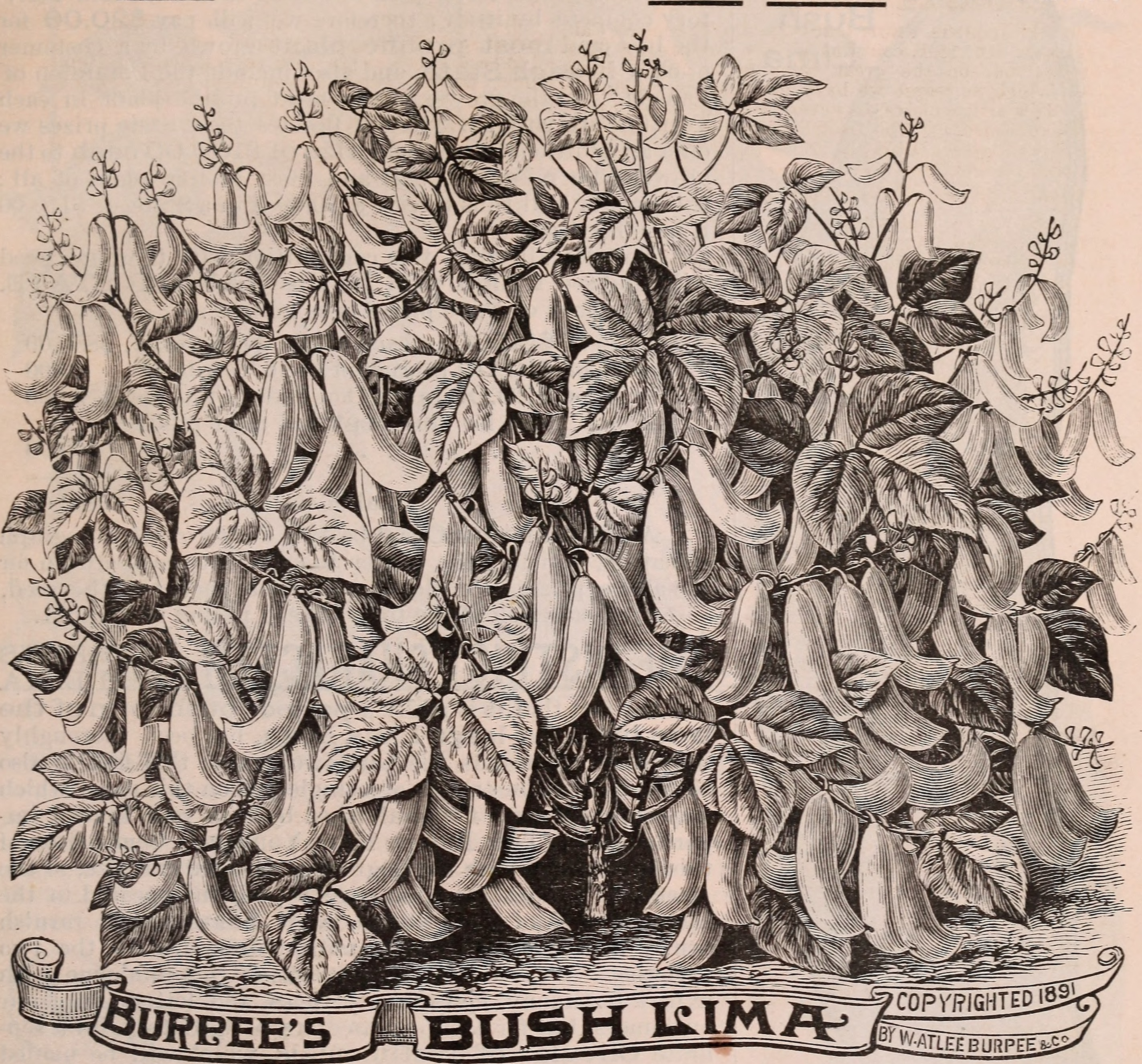 "Drawing on Burpee's farm annual, 1892. It reads ""Burpee's Bush Lima."""