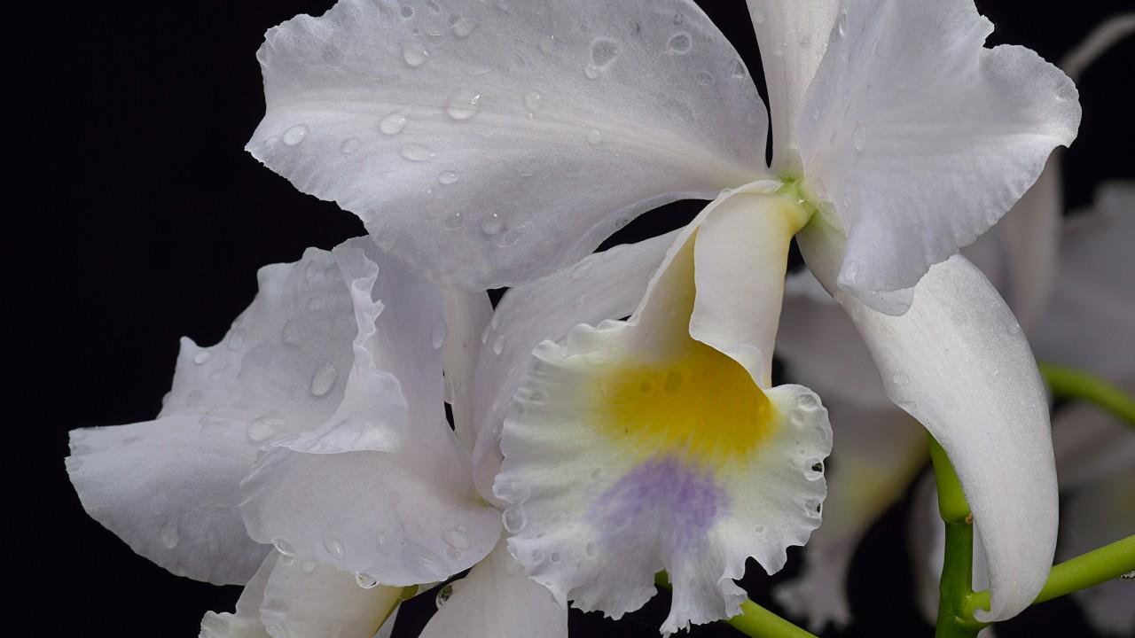 Cattleya Intertexta × Cattlianthe Sir Jeremiah Colman 'Blue Moon'