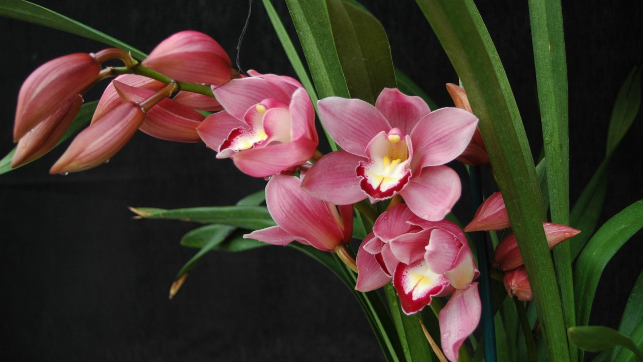 Orchid, Cymbidium Heart Joy 'Papini'