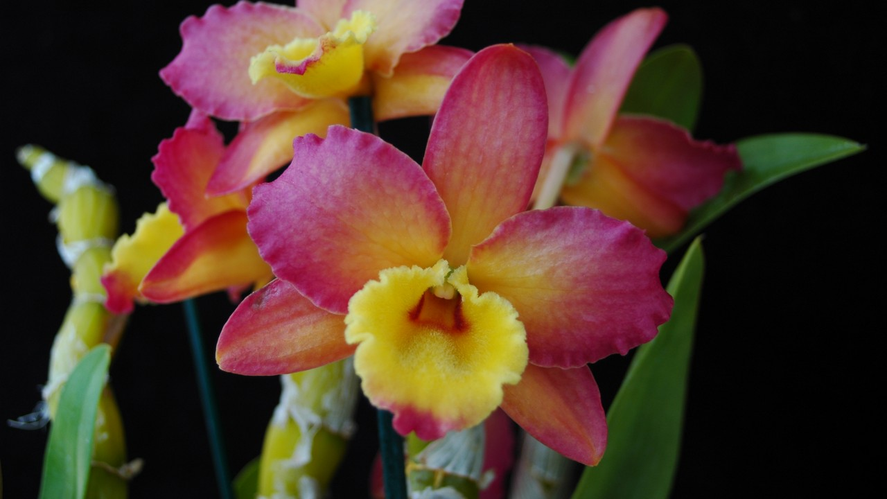 Orchid, Dendrobium Oriental Smile 'Fantasy'