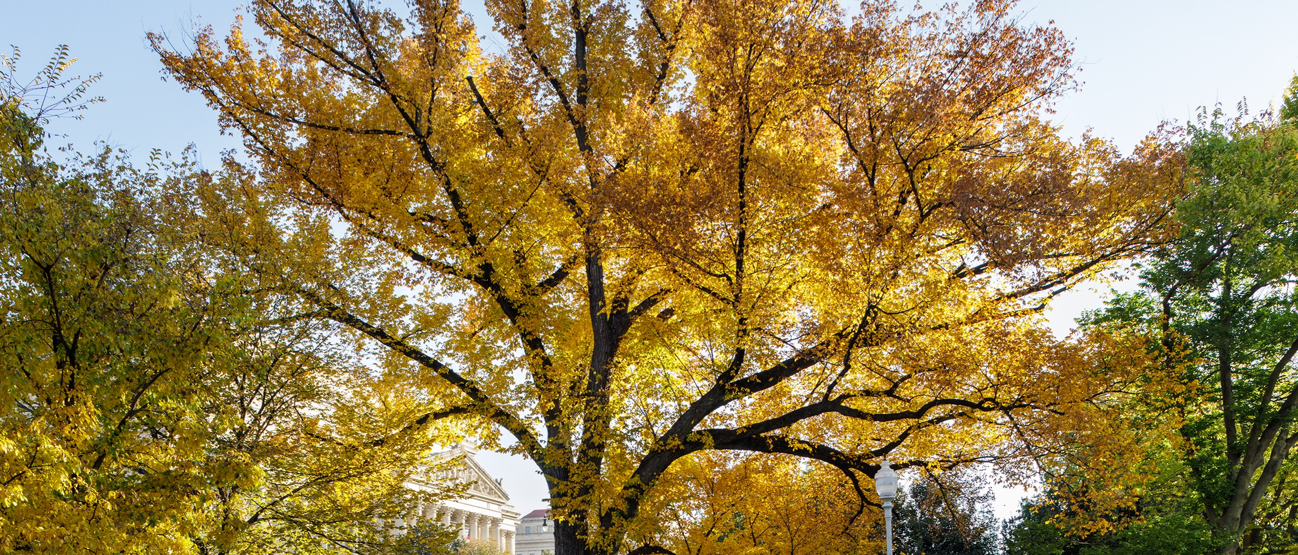 Elm number 1 in the fall