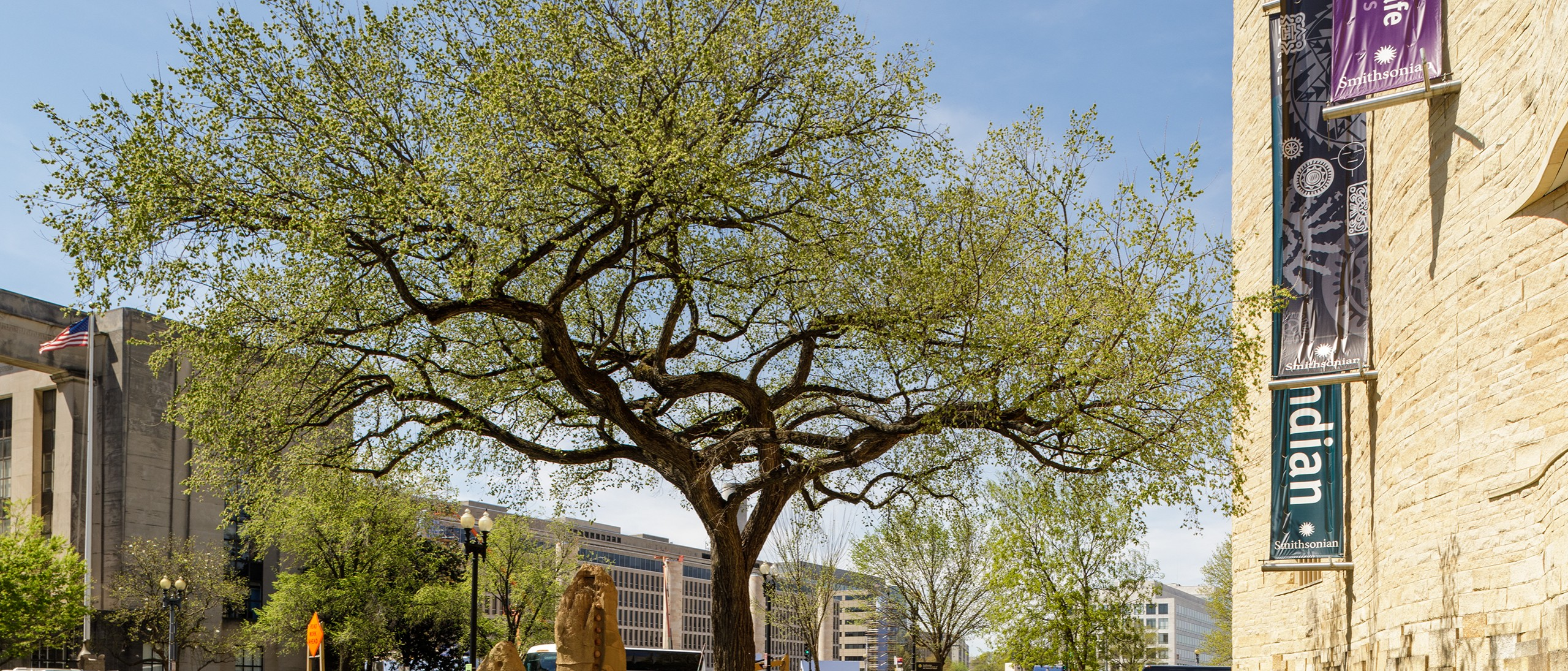 Large elm with spring leaves outside the NMAI museum
