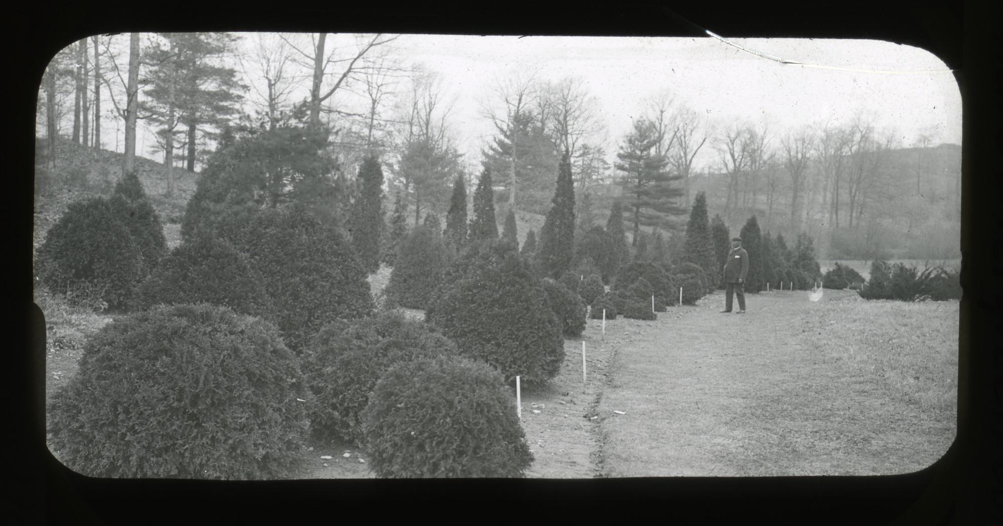 Black and white photo of trees at Arnold Arboretum, circa 1920s.