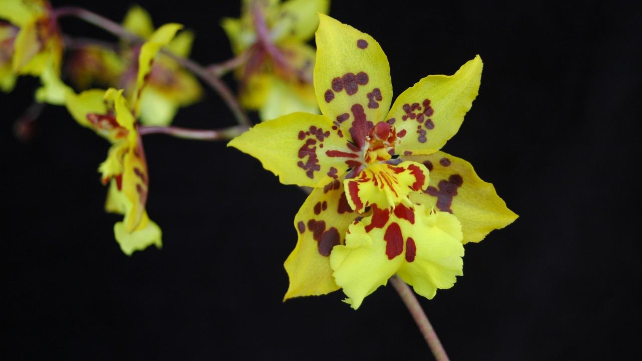 Orchid, Oncidium Tiger Crow 'Golden Girl'