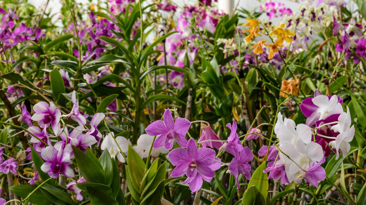 Orchids in greenhouse