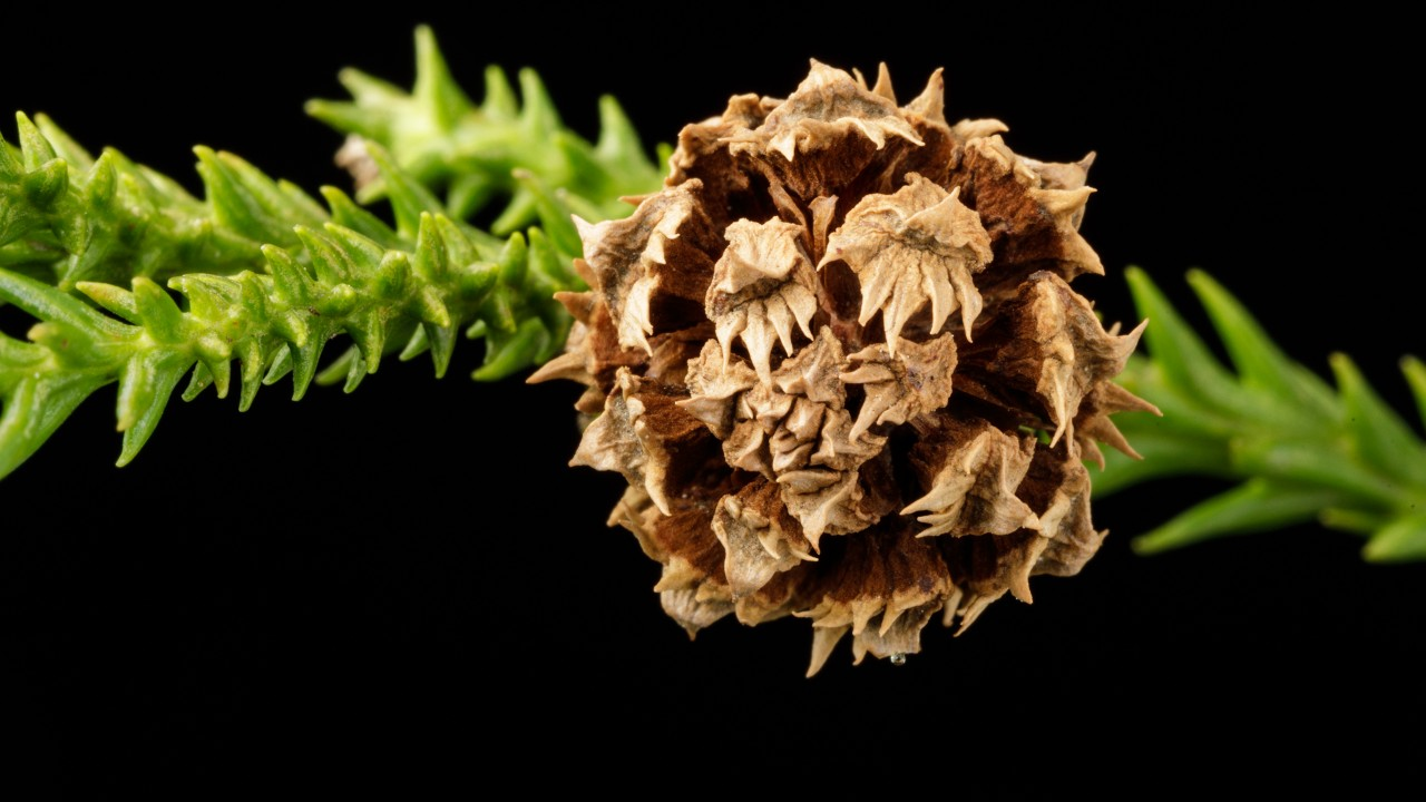 Detail of Cryptomeria japonica 'Yoshino' cone