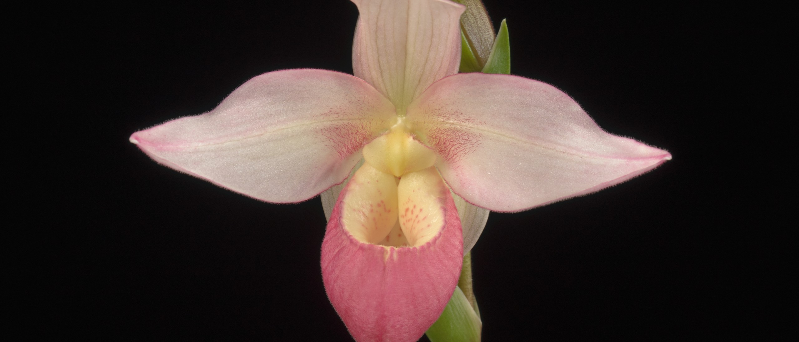 Phragmidpedium orchid pink flower form