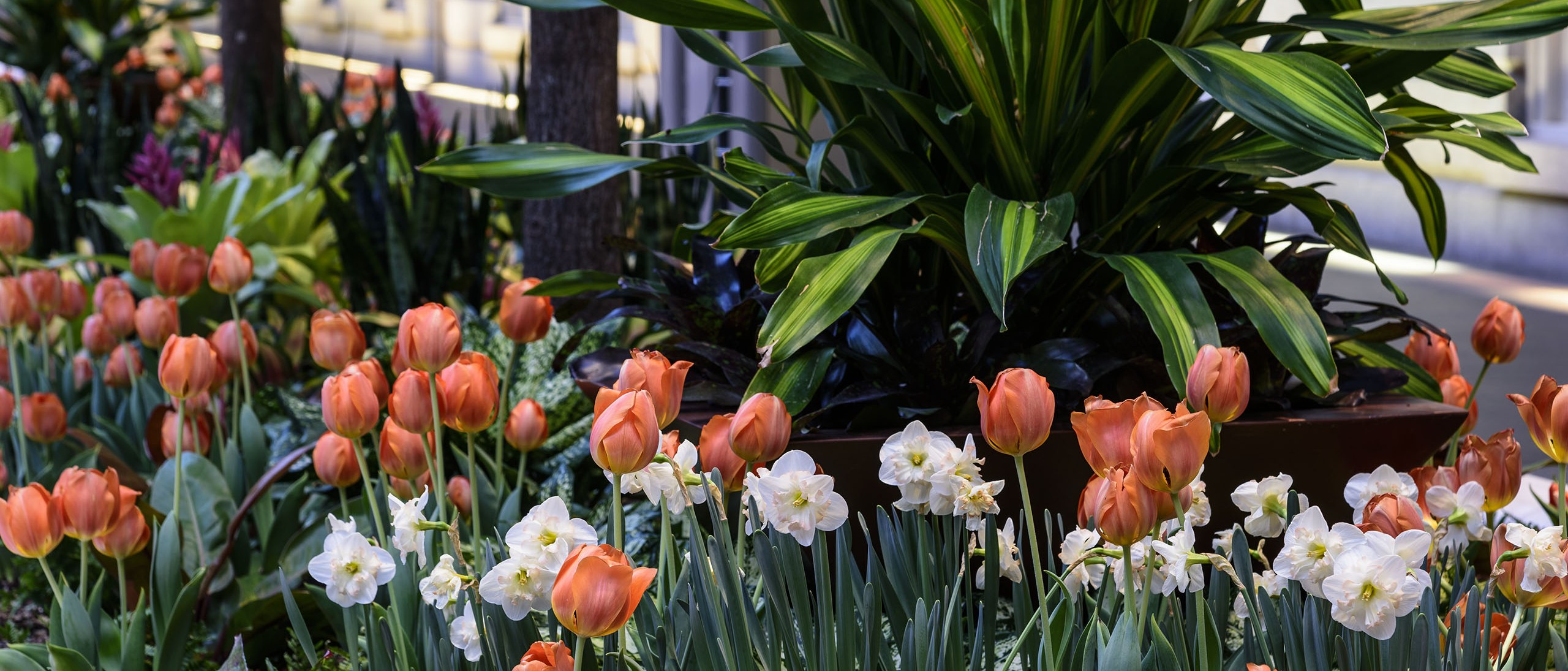 Tulips and daffodils in Kogod planter