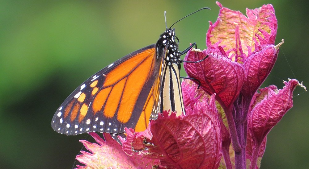 Monarch butterfly resting on red flower