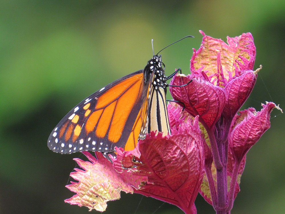 blackand orange monarch butterfly resting on red flower