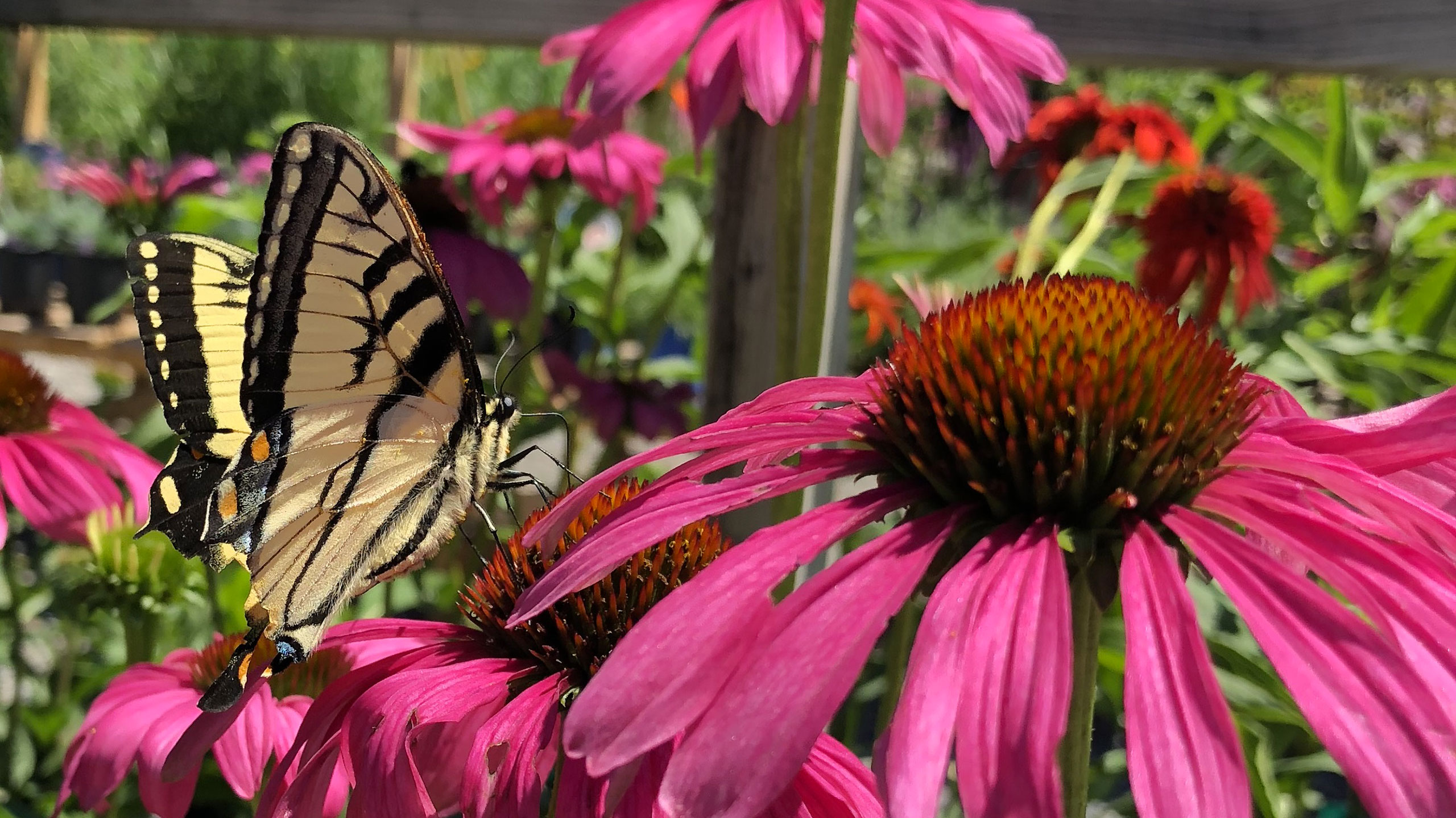 A Swallowtail Butterfly feeding on coneflower