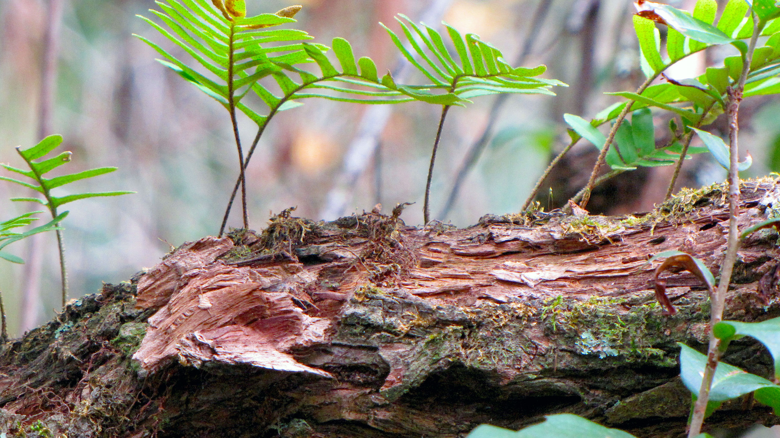 Resurrection ferns growing out of a dead tree