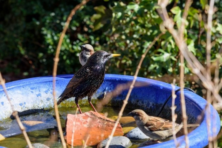 Three small brown birds standing in blue bird bath