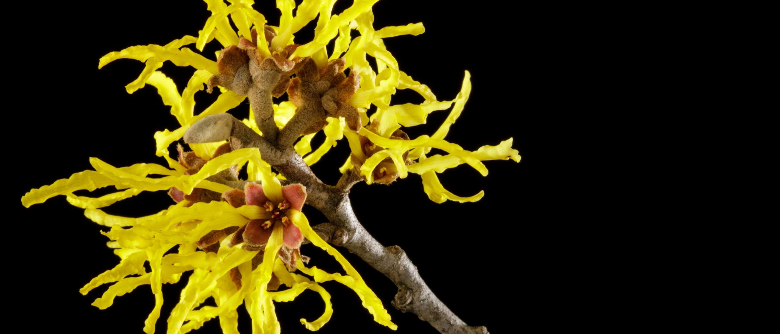 Witch Hazel yellow flower form