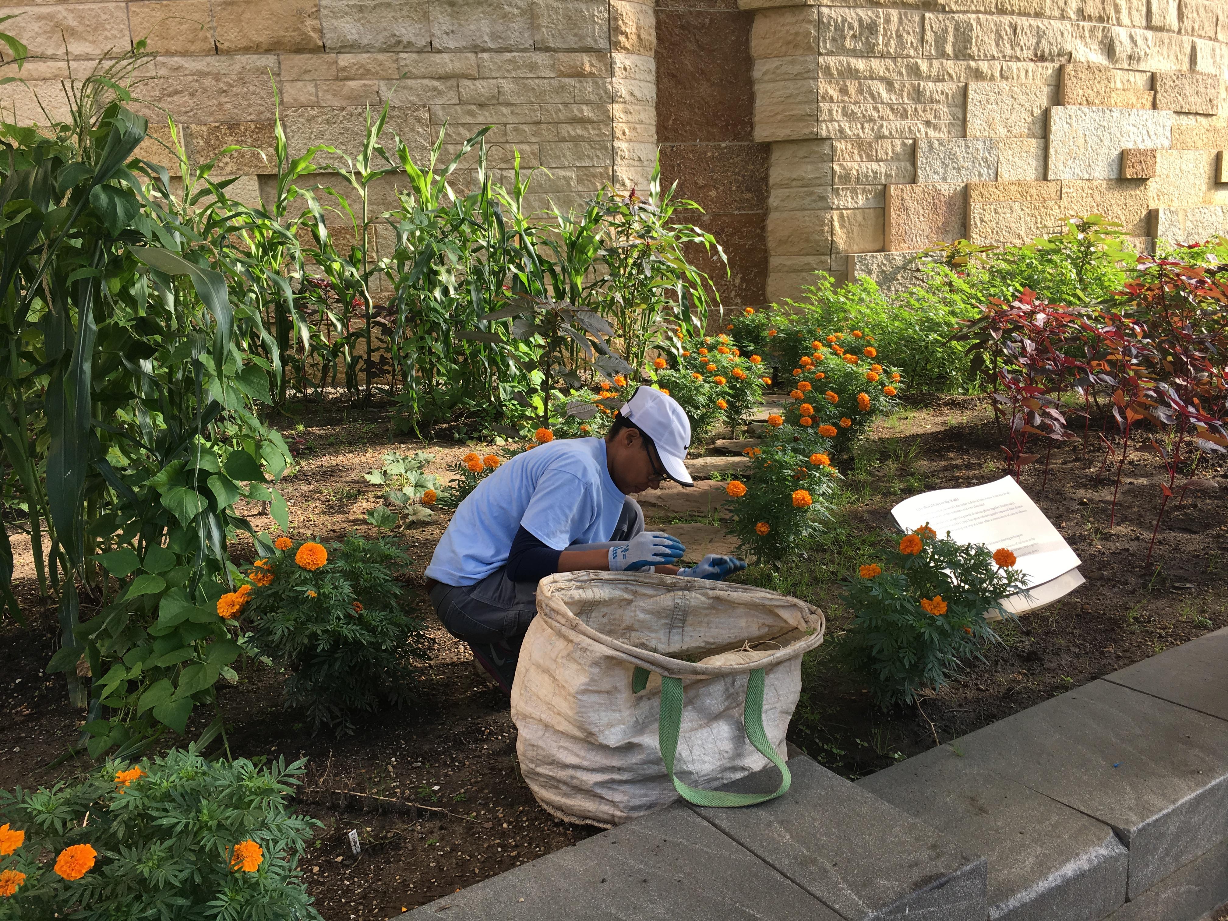 Volunteer pulls weeds near corn and marigold plantings