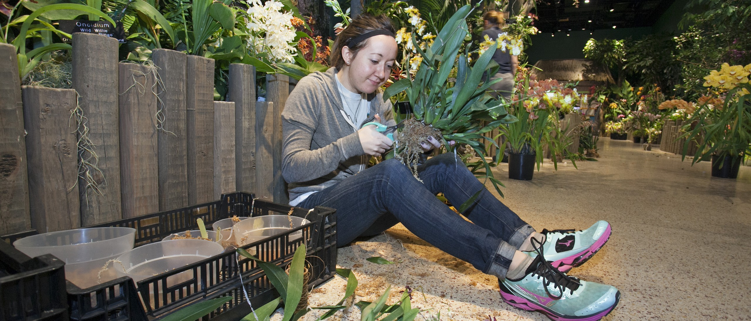 Intern helping to groom orchid for exhibition