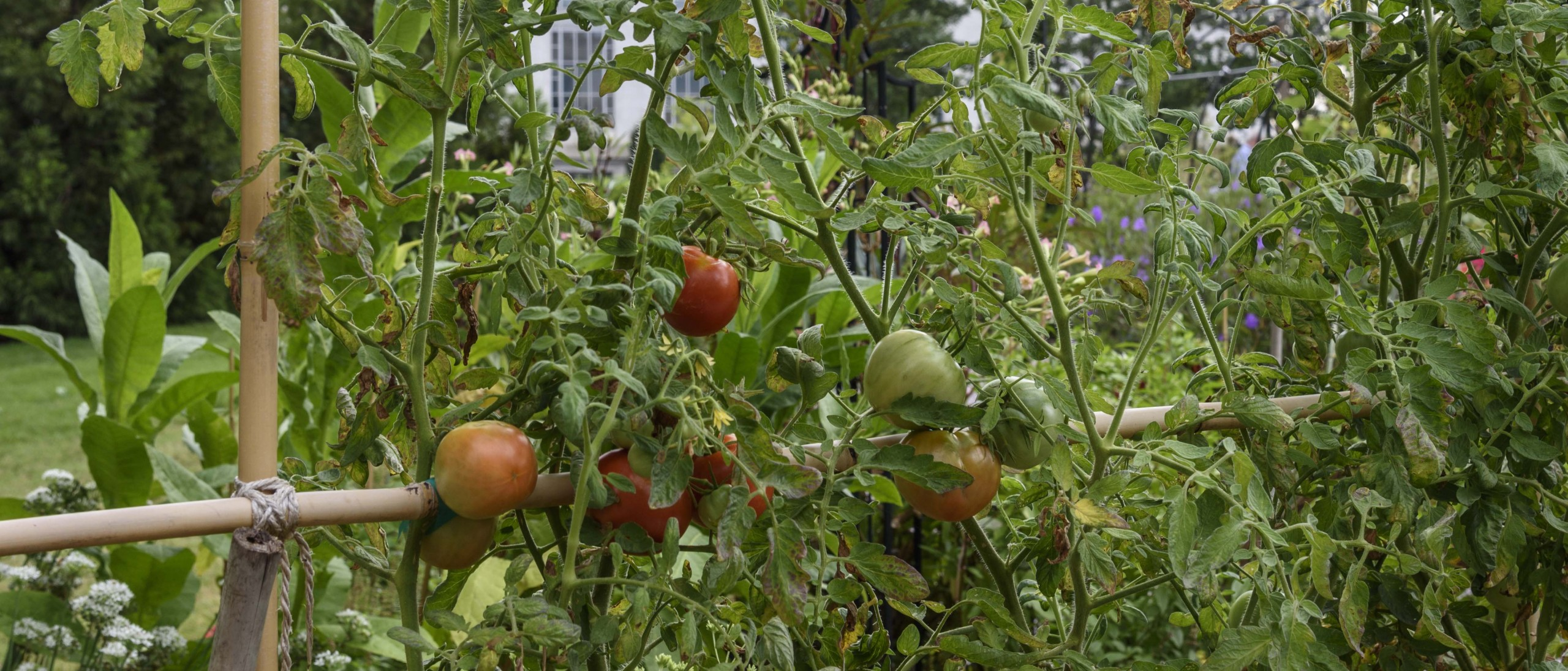 Tomatoes on a bamboo support