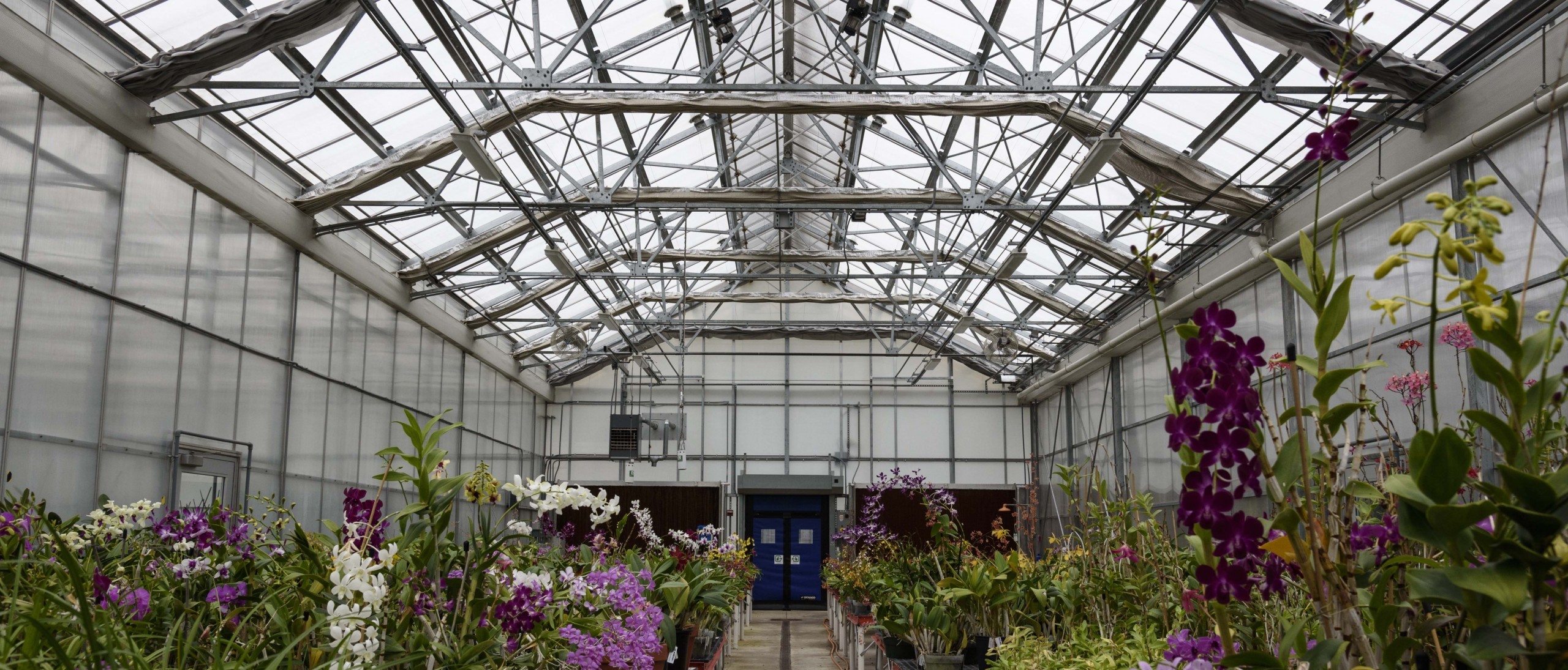 Interior of orchid greenhouse with colorful blooms