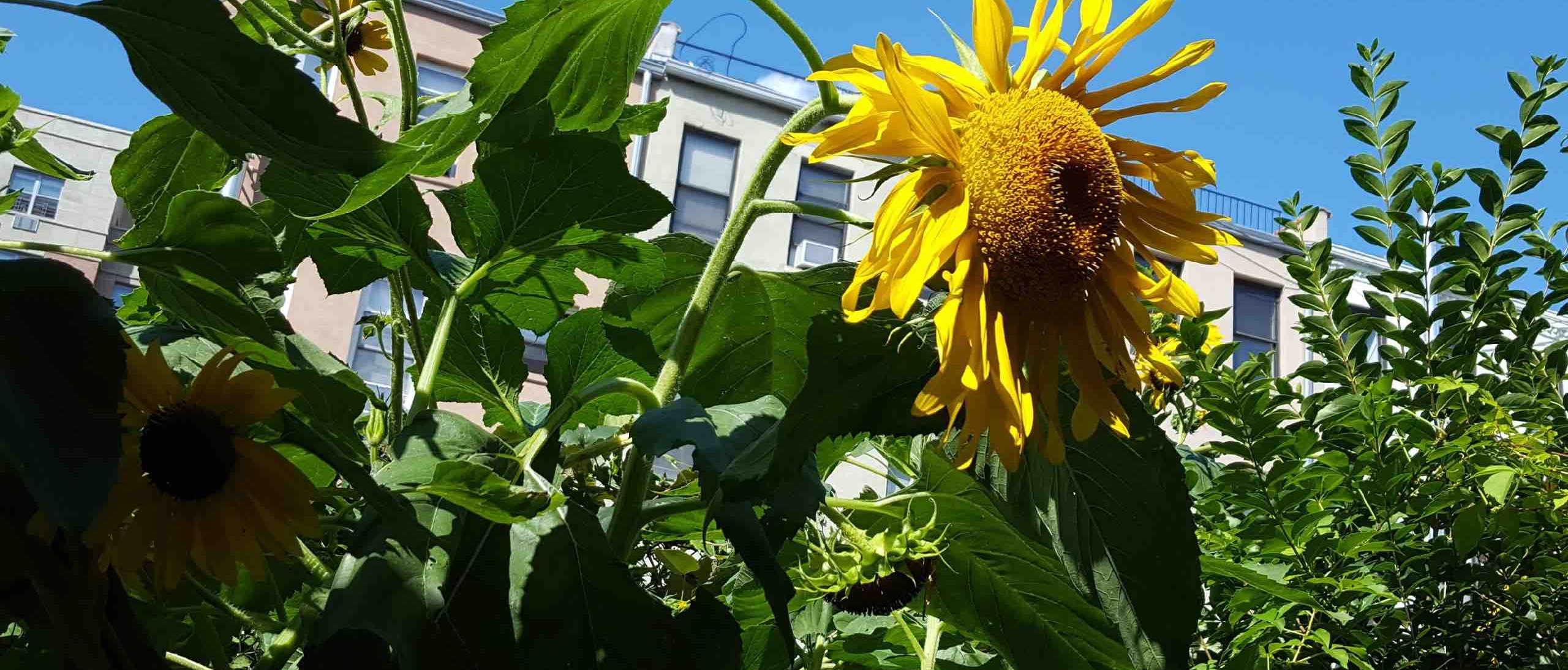 Sunflower infront of white apartment building