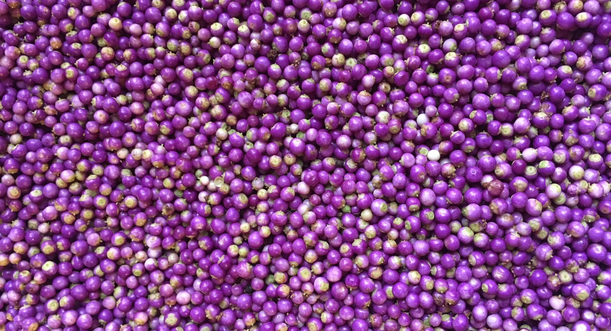 hundreds of freshly-picked purple beautyberries