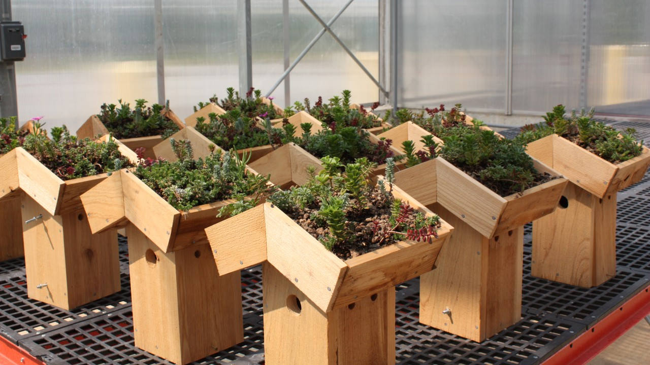Eleven, foot-tall wooden bird houses with green roof plantings lined up in three rows on an interior greenhouse table.