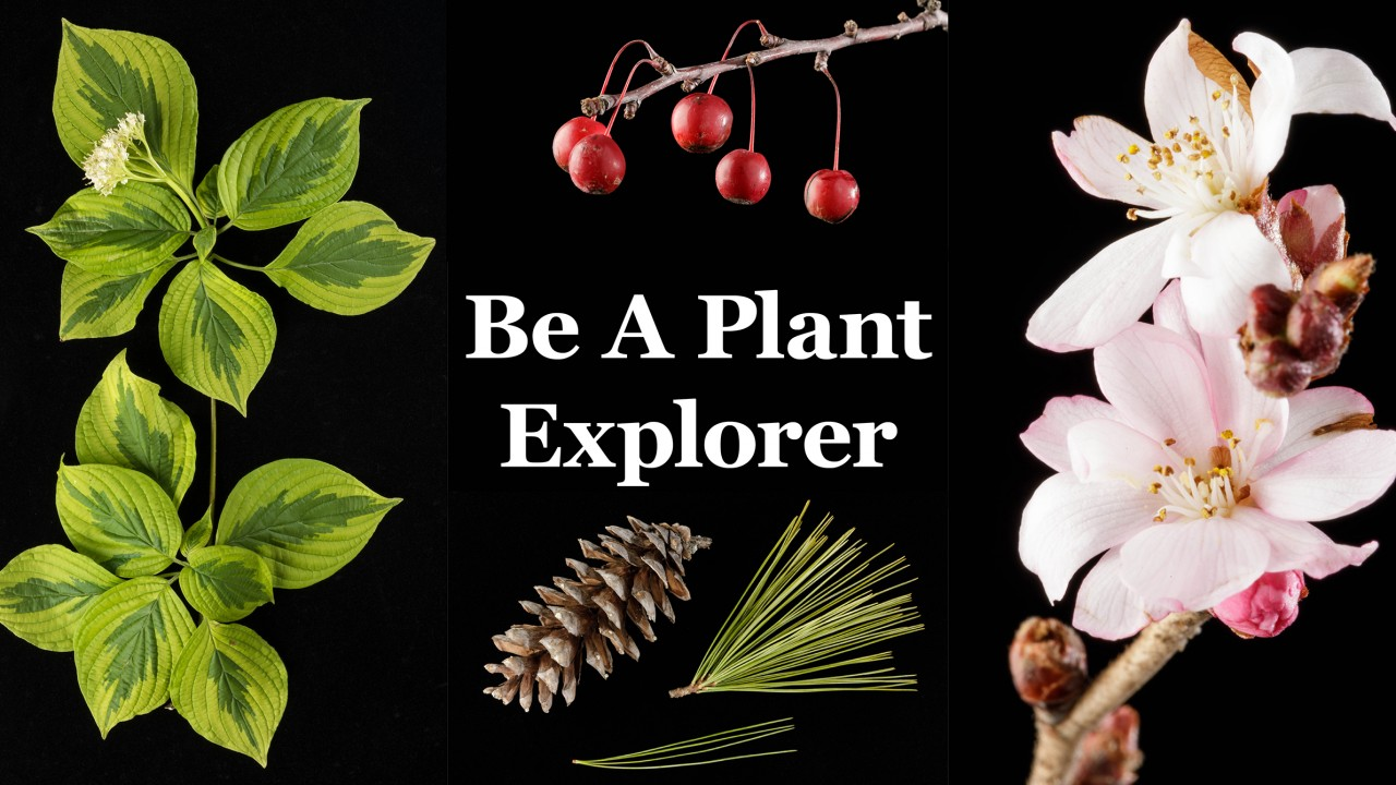 "Collage which introduces Plant Explorer. Cornus alternifolia variegated foliage with flower on left, ornamental Malus fruits on center top, Pinus strobus cone and foliage on center bottom, Prunus subhirtella 'Autumnalis' flowers on right. Text reading ""Be A Plant Explorer"" centered."