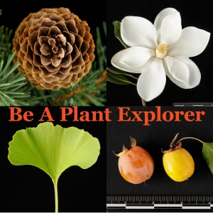 Collage introduces Plant Explorer. Clockwise from top left: Picea abies 'Acrocona' cone, Magnolia grandiflora flower, Diospyros virginiana fruit, Ginkgo leaf