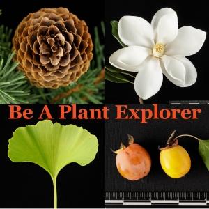 Collage introduces Plant Explorer. Clockwise from top left: Picea abies 'Acrocona' cone, Magnolia grandiflora flower, Diospyros virginiana fruit, Ginkgo leaf
