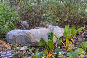 Robins using Birdbath