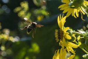 Bee in Pollinator Garden outside of the National Museum of Natural History