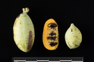Pawpaw tree fruit from National Museum of American Indian Native Garden