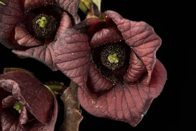 A. triloba - flower