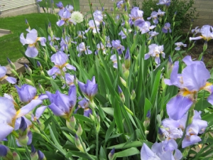 """The beautiful """"ditch"""" irises passed down through a familyin this Community of Gardens story. The original irises were found on the author's great-grandparents' land growing in a swampy area and were transplanted from generation to generation, from garden to garden."""