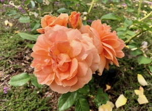 R. 'At Last'- Floribunda; fully double, continual bloomer; fragrant