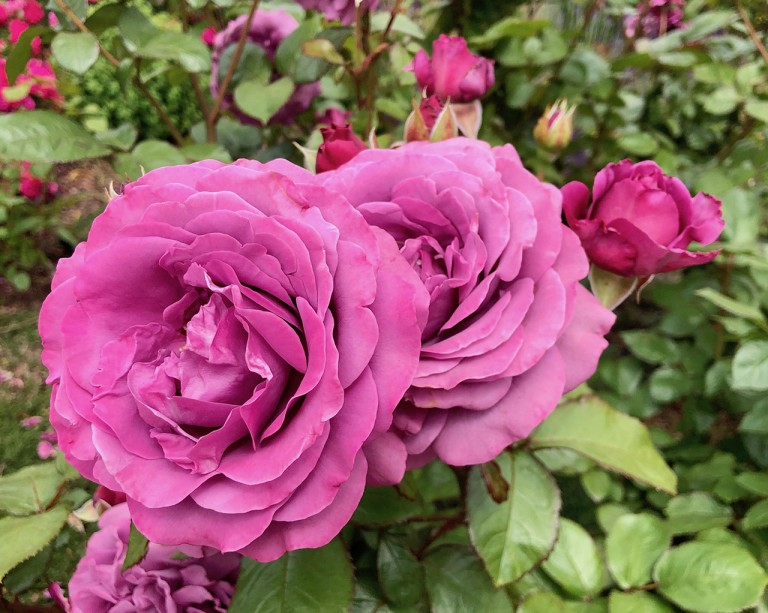 R. 'Plum Perfect'- Floribunda; fully double, continual bloomer; lightly fragrant