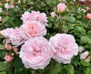 R. 'Quietness'- Shrub; double, repeat bloomer; moderately fragrant