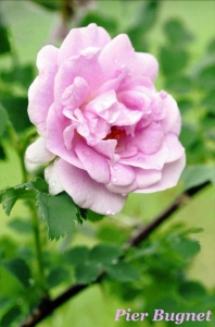 The 'Pier Bugnet' rose is particularly suited to growing in the cold northern climate of Fairbanks, Alaska. When the rose was in danger of being lost, the Fairbanks Garden Club banded together to save this beautiful flowerfor their town.