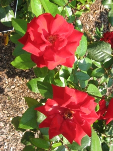 crimson-bouquet-grandiflora-rose