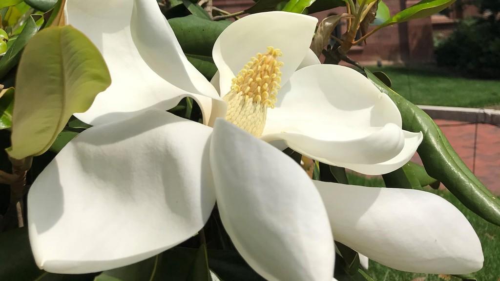 A Southern Magnolia