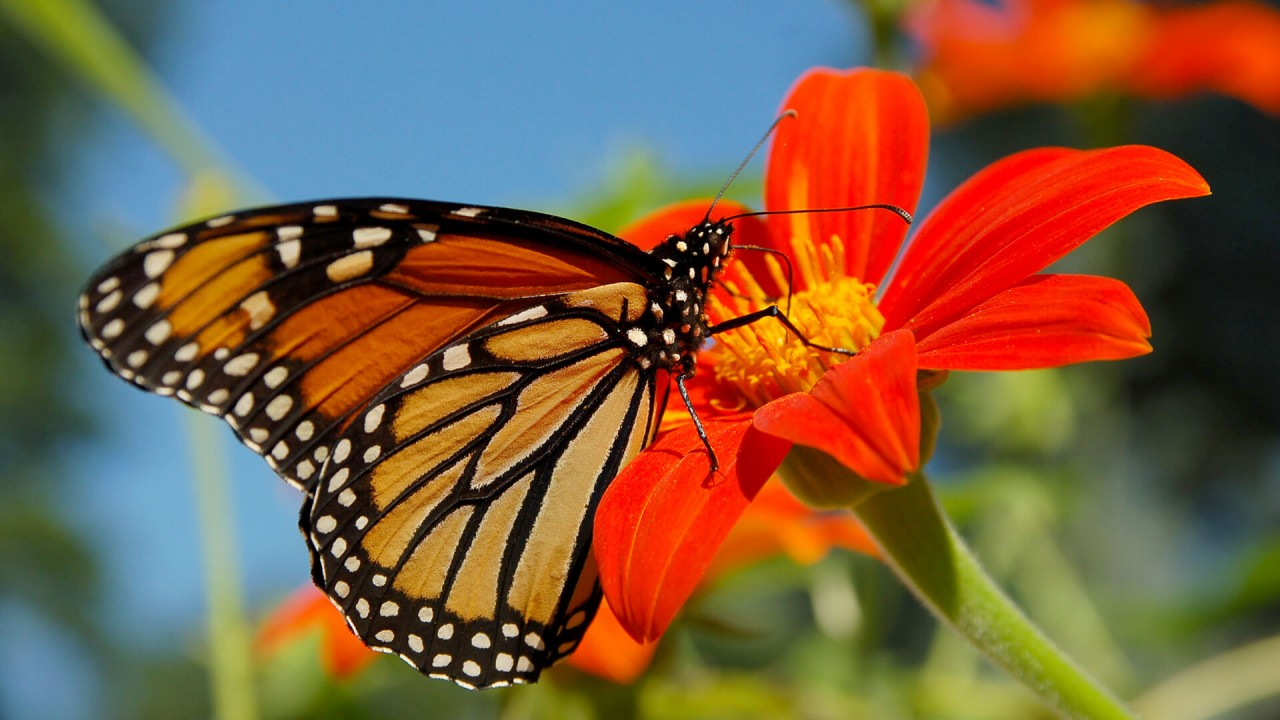 Migrating monarch butterfly stops for nectar at Smithsonian Gardens