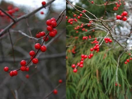 Winterberry (Ilex'Sparkleberry')
