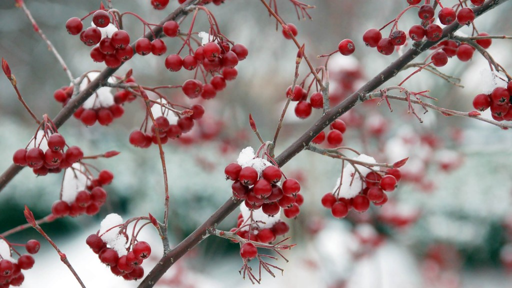 Snow-covered red chokeberry