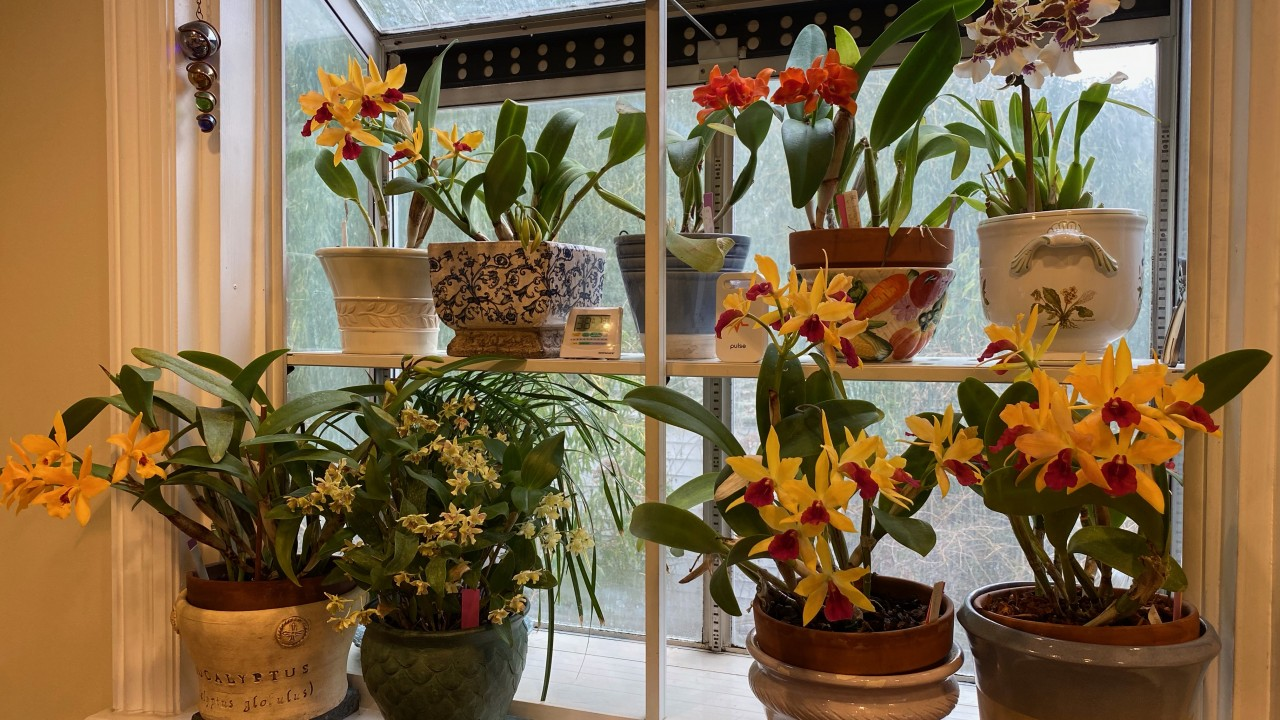 Orchids in window