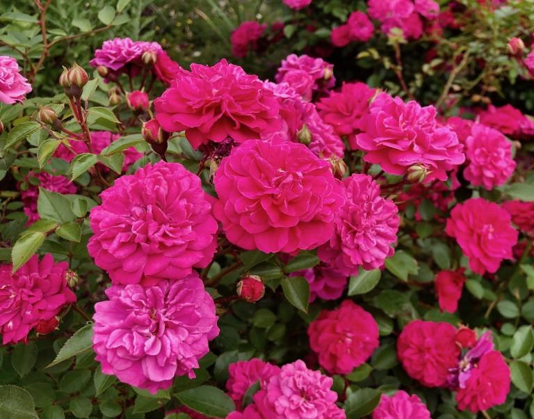 Rose 'Roxy' in the Kathrine Dulin Folger Rose Garden